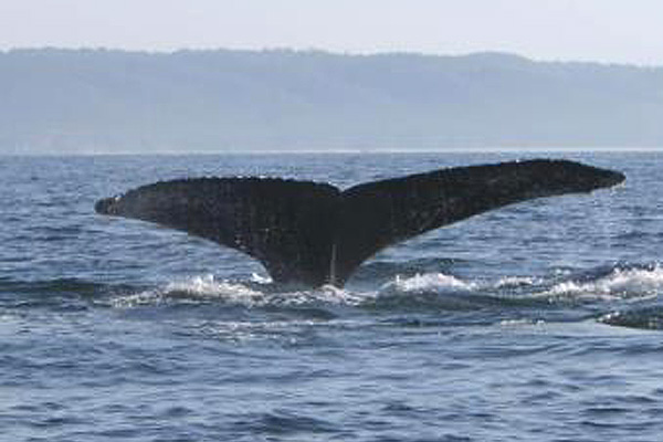 Whale Watching Expeditions. Photo by Yubarta Expeditions
