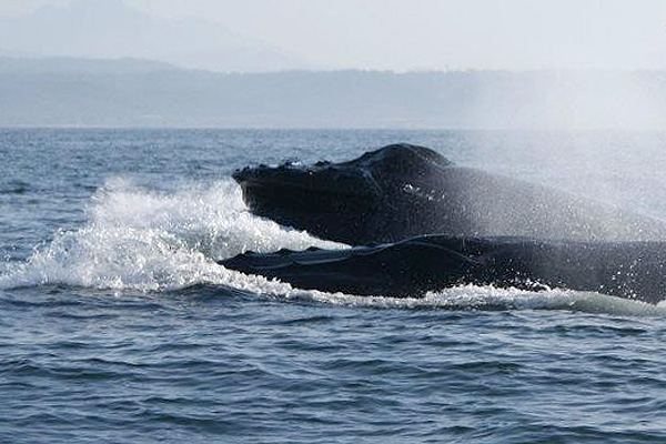 Whale Watching Expedition. Photo by Yubarta Expeditions