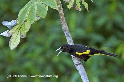 Yellow-Winged Cacique (Cacicus melanicterus)