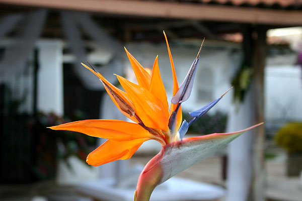 Ave del Paraiso (Bird of Paradise Flower. Photo by Harvest Estudio