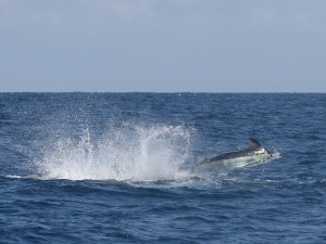 Fishing Report - Gary Brielmayer Term Blues Jump Blue Marlin