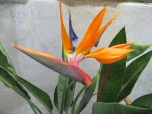 "If ever there was a ""Look at me"" tropical flower, the Bird of Paradise is it!"