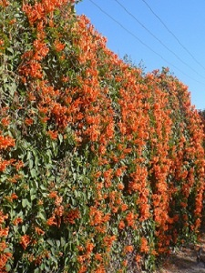 This one grows on a wall on the highway leading into PV from Manzanillo. Gorgeous, isn't it?!