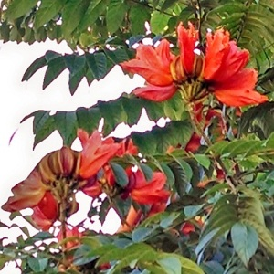 Planting Roots in Mexico – African Tulip Tree