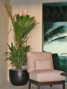 In the right location, the Lipstick Palm can be a most attractive houseplant.