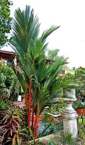 The scarlet red to orange-red, 3-foot long crown shafts of the Lipstick Palm are among the rarest found in any palm trunks. (Photo by Dr. Felix Montes of TropicalAmerica.)