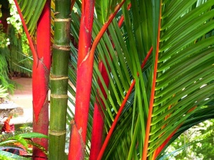 "Robert Lee Riffle described them most aptly as ""Exquisitely thin-trunked clustering feather palms"". (Photo by Dr. Felix Montes of TropicalAmerica.)"