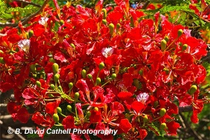 Well named, the riot of brilliant red flowers of the Flame Tree are a delight to see.